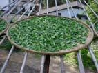 武夷岩茶制作工艺技术之二萎凋工艺