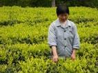 武夷岩茶初制工艺技术之一采摘工艺