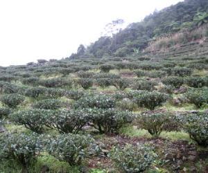 茶中上品 台湾日月潭红茶(图)