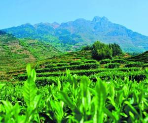 欧盟降低三项茶叶检测标准,铁观音输欧喜迎利好