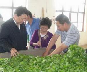 永德县勐底农场春茶上市招来第一批茶商