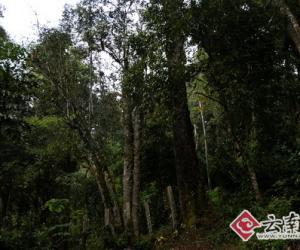 巴达1800年野生茶树王图片