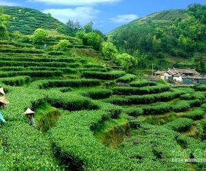 初级茶艺师教程--茶性篇(茶的成分和功用)
