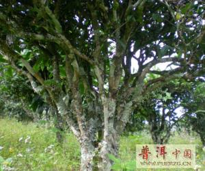 普洱茶茶树知识
