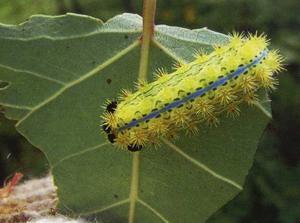 褐边绿刺蛾对茶树的危害与防治