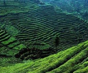 蒙顶山我国最早的栽茶地区