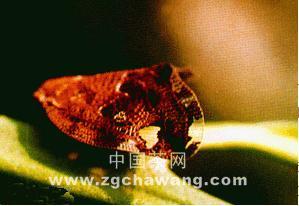 茶树八点广翅蜡蝉的发生与防治措施