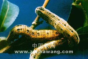 茶树茶蚕的特征与防治方法