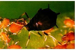 秋季应及时做好茶二叉蚜的防治