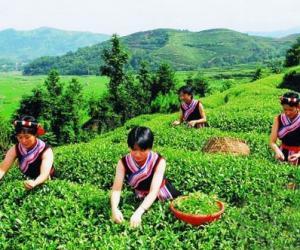 福建白茶什么时间是采摘的时候?
