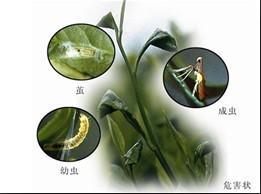 夏季茶园病虫害发生特点与防治