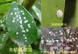 茶园茶树角蜡蚧发生与防治