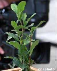 大红袍茶树品种顺利通过省级2012年的审定