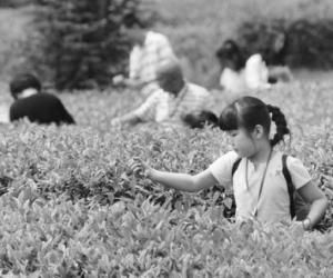 """第二届""""蜀涛之春""""采茶文化节开幕"""