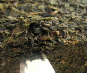 安化茯砖茶的抗辐射作用