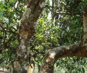 茶叶的起源和医用价值追踪