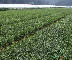 鉴定与利用安吉白茶的特异性