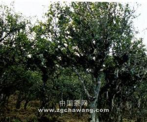 【茶山箐茶区】1050亩栽培型老茶树