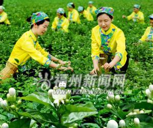 福州茉莉花茶产业组合拳谋壮大 力争年产值达30亿