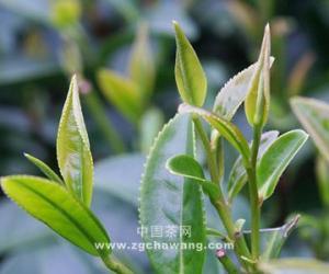 植物学家研究:茶叶生意的生命力