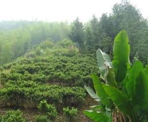 """世界最早的名茶""""昭君白鹤茶""""的传说"""