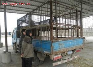 长丰县畜牧水产局强化仔猪交易市场监管工作