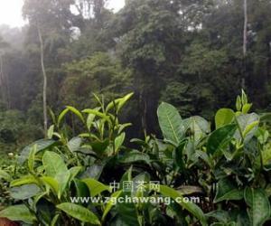 中国茶文化:诸葛武侯与普洱茶