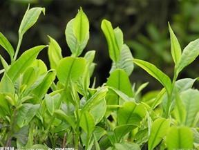 茶叶的品质特性与保健功效