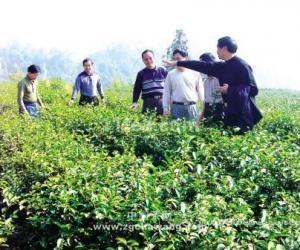 名优茶生产地:广东开平天露山