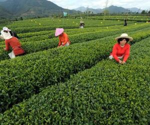 浙江:绿茶吐翠 增量增收