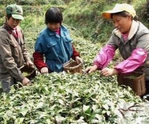 歙县一茶园90%优质黄山茶销往海外