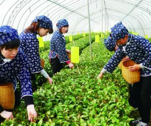 山东烟台绿茶求解品牌突围