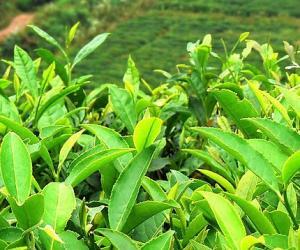 吐鲁番的茶叶传说