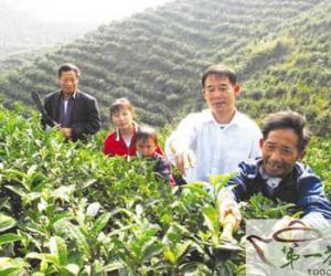 茶园低改促增收