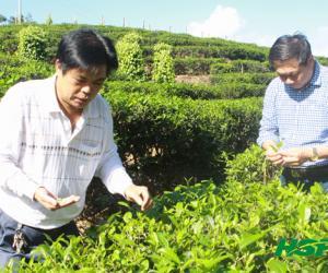 乌石加钗农场科学采茶天天采好茶