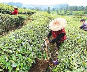 武夷山岩茶村 茶农采摘岩茶