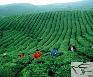 余庆出台政策壮大茶产业(图)