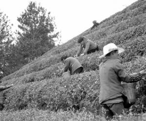 鼎力打造张家界茶产业知名品牌
