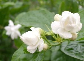 茉莉花茶的养生作用和多元化运用