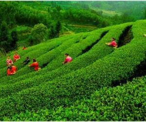 英德红茶寻源之旅