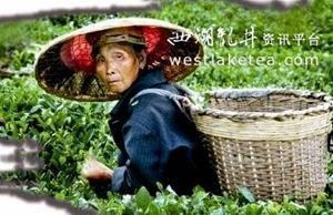揭秘印江茶区老人长寿的秘诀