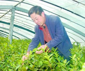 """""""烟台绿茶""""欲跻身农业品牌""""前四强"""""""