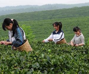 """打造安溪�F�^音���H茶品牌 首先要""""入�l�S俗"""""""