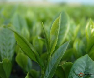 明前、雨前、草青:茶叶的三六九