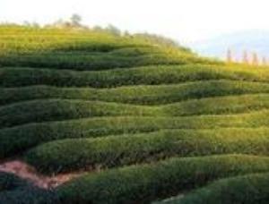 大红袍的茶叶起源