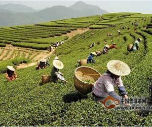 一份真实的茶叶数据告诉你:好茶的五个标准