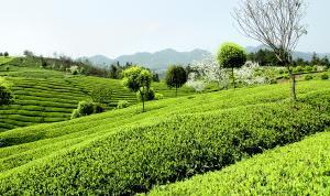 贵阳湄潭成为全国第二产茶县