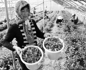 中国最北端绿茶进入采摘期