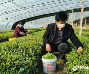 第一茬日照绿茶开采 八万亩茶园春茶加工陆续启动
